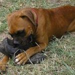 La raza, influye en el carácter general del perro, aunque no es un factor determinante al que achacar una agresión por parte del mismo. Las razas de perros peligrosos no existen en el sentido estri…
