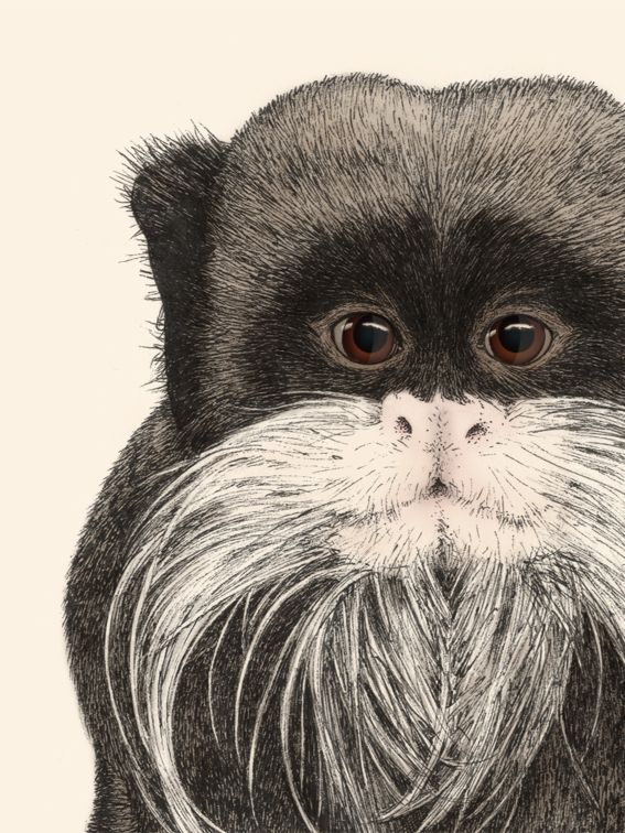 """""""Emperor Tamarin"""" by Ferdy Remijn (The primate collection)"""