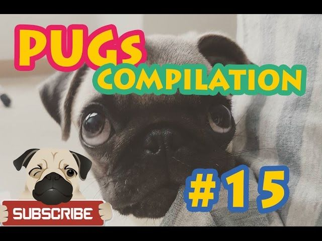 Funny Dogs but only Pug Videos - Pugs are Awesome #15 | Instapugs Funny Dogs but only Pug Videos - Pugs are Awesome #15 | Instapugs Here is 15. Pug video of my channel. They are most funny dogs in this world. If you like pugs subscribe to my channel and like videos with comments. …