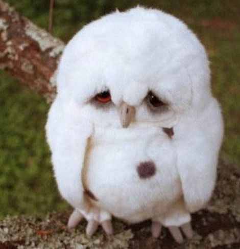 Baby owl! Well, it's a toy. But so damn cute.Hogwarts, Little Owls, Harrypotter, Baby Owls, Sadness Owls, 11Th Birthday, Funny, Harry Potter, Animal