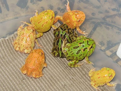 Pacman Frog Morphs