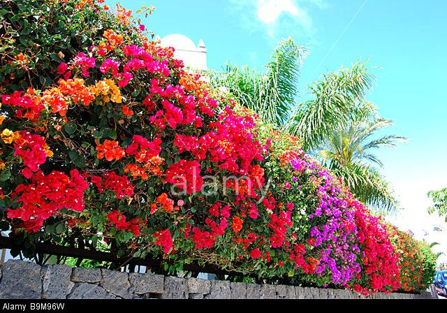 Colourful bougainvillea hedge, beach promenade, Playa Grande, Playa Blanca, Lanzarote, Canary Islands, Spain Stock Photo
