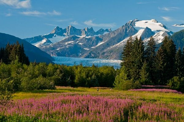 Blooming fireweed with Mendenhall Glacier in the distance