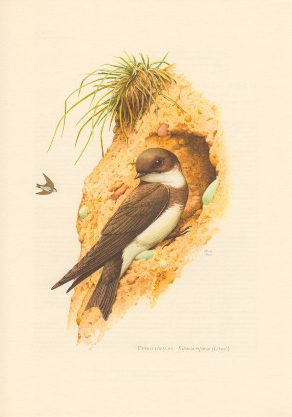 1956 Sand Martin Antique Print Vintage Lithograph by Craftissimo, €12.95