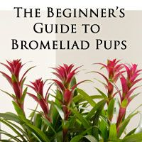 The Beginner's Guide to Bromeliad Pups