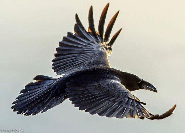 Corvid Flight, Nikki Lynn