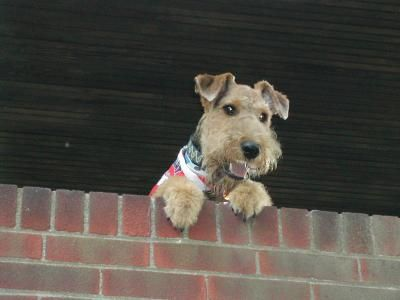 Surprise! Airedales are renowned for their high levels of energy. Do you have experience with Airedale Terriers? Upload your thoughts to NoahsDogs.com #airedale #terrier #surprise #dogs #noahsdogs
