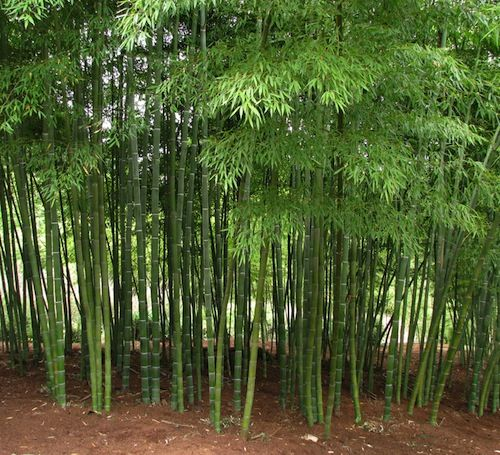 134 best images about benefits of bamboo on pinterest