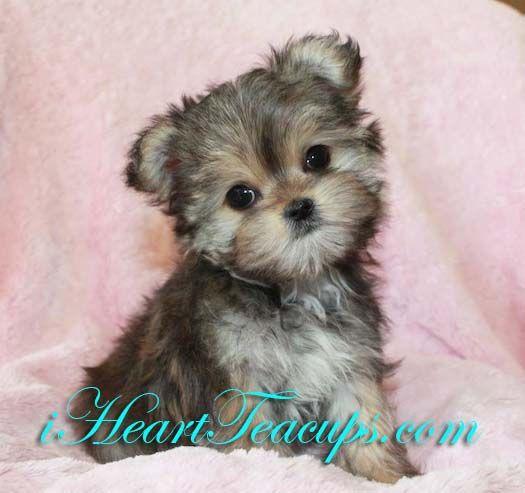 Teacup Puppies Prices | Tiny Morkie Puppy Designer Puppy