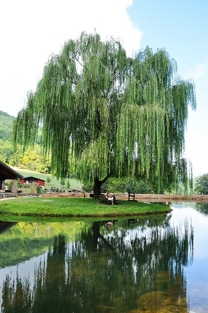 When I was younger, we had willow trees just like this by the neighborhood lake. I used to swing from the tree branches until one day I fell into the lake!