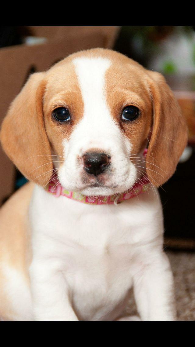 Lemon Beagle Puppies | Beagle Puppies |Lemon Beagle Puppies