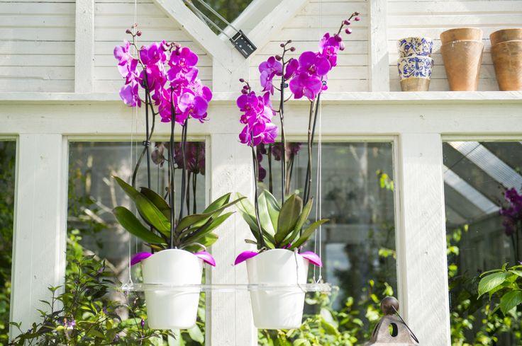 Biolan Ilo growing set. Hanging rack with two Orchid pot. http://www.biolan.fi/suomi/puutarhaharrastajat/huonekasvituotteet/ilo-kasvatussarja
