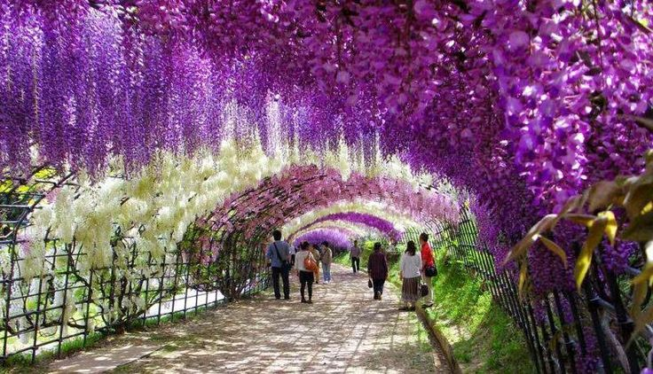 5. Wisteria Flower Tunnel, Japan