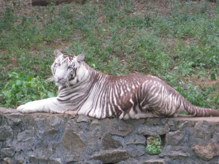 The 25+ best Melanistic lion ideas on Pinterest   Animals ...