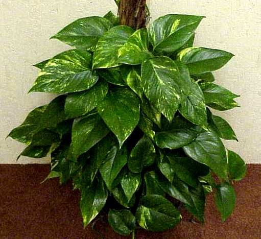 Pictures of house plants with names pothos click to enlarge beautiful houseplants for Garden plants names and pictures