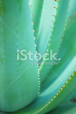 Aloe Background Royalty Free Stock Photo