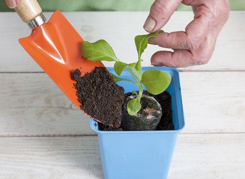 Садик-огородик:): Возьмите петунии на доращивание