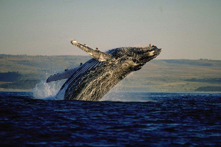 Whales of Gansbaai:Great White Shark Tours