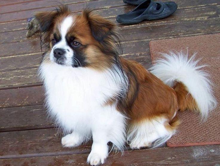 Beautiful Rare Chubby Adorable Dog - b5b307d79d34abcc66dd494cfa0d3b27--tibet-spaniel-spaniel-dog  You Should Have_322046  .jpg