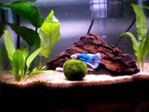 36 best images about betta fishies on pinterest for Betta fish moss ball