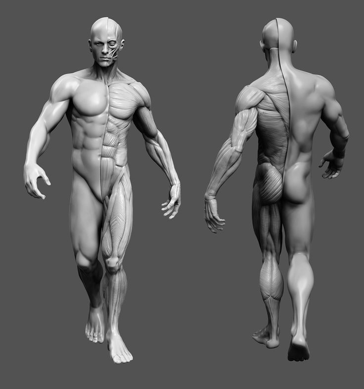 90 best Male Anatomy images on Pinterest | Human anatomy, Anatomy ...