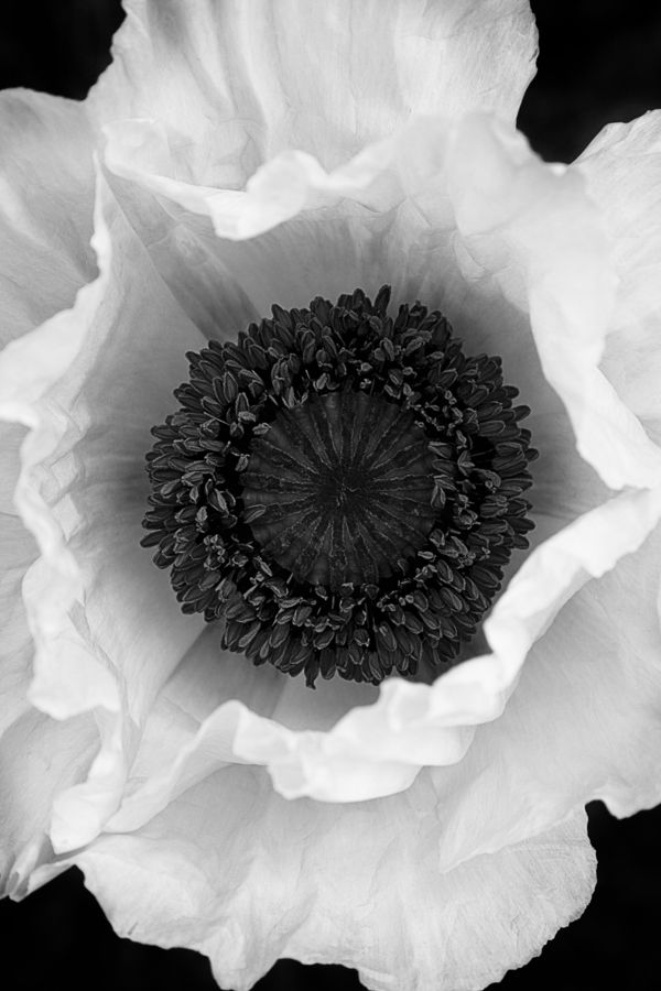 : Beautiful Flower, White Poppies, White Flower, Language Of Flower, Black And White, Blackwhit, Black White, Flower Patterns
