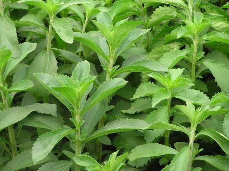 stevia, édes levél, jázminpakóca