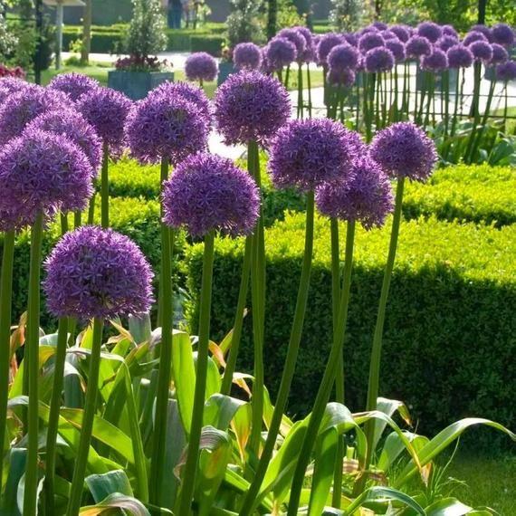 Allium Globemaster Giant Globe Allium Allium Flowers Longfield Gardens Bulb Flowers