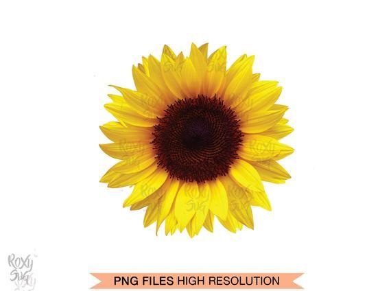 Half Sunflower Whole Sunflower Sunflower Clipart Sunflower Png