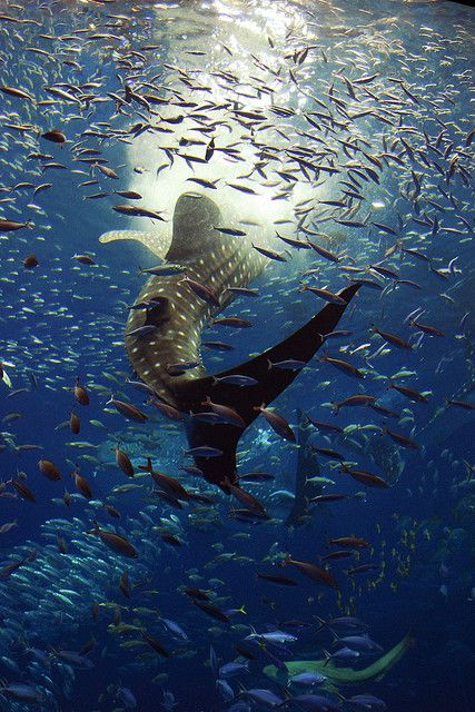 A whale shark feeding, beautiful shot!