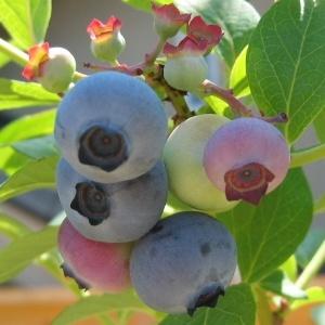Southern Highbush Blueberry O'Neal http://berryslife.com