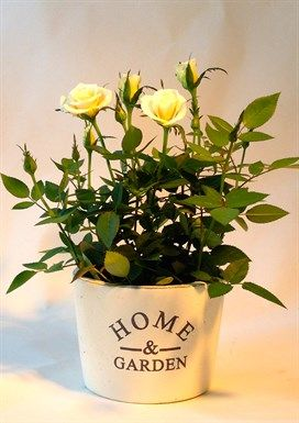 """Home & Garden Ceramic with miniature Roses  classic white ceramic with """"home & garden"""" stenciled on front filled with our lush flowering miniature roses in a wide variety of colours. http://www.summerhillnurseries.com.au/www/content/default.aspx?cid=1955&fid=1374"""