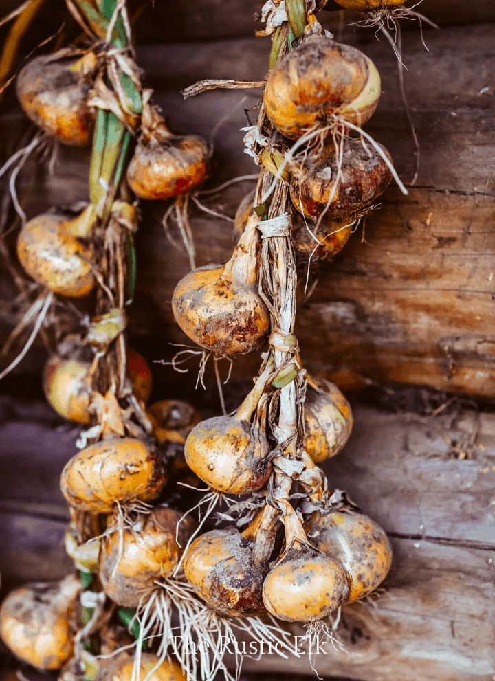 How to grow onions for a bumper crop onion growing