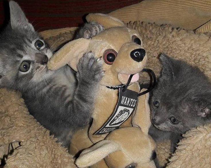 #Conocé a Blondie, la perrita que adoptó a dos gatos recién nacidos y los amamanta - La Gaceta Tucumán: La Gaceta Tucumán Conocé a Blondie,…