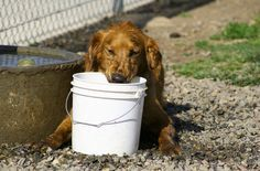 If your #dog ingests something dangerous, you may need to induce vomiting to get the poison out of his system.   Here's how to make a dog throw up.