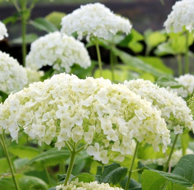 "Annabelle An old-fashioned snowball plant with blooms of up to 6"", Annabelle features lush green and off-white fluffy large rounded blooms which make this beautiful plant a real show off. The flowers will perform from May till the first hard frost making this one of the best of the Hydrangea Arborescens family. It's history includes parentage that were introduced from Colonial North America into England from a plant collection in Virginia. Native Americans used the roots and leaves…"