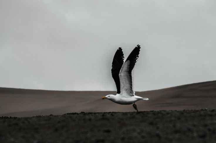 a Seagull about to take flight.