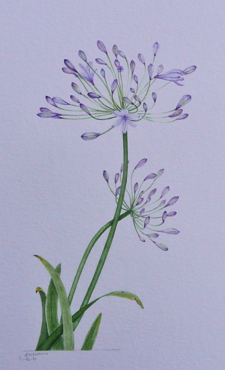 Agapanthus, watercolour by Judith Jerams, France Art in
