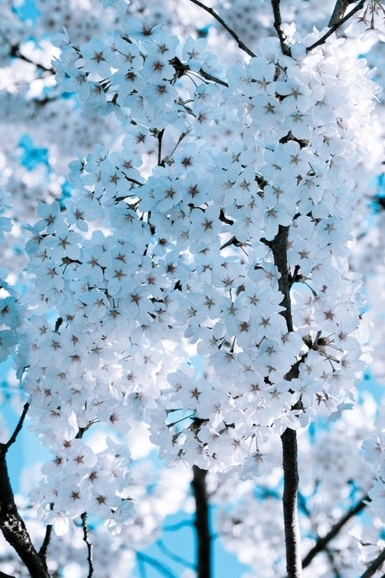 Cherry Blossom Flowers Garden Love