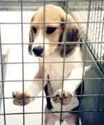 Why ARE we still torturing beagles? As puppy experiment farm opens, Boris Johnson's father demands to know why thousands of dogs are being used for 'vicious' animal testing Read m…