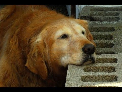 Golden Retrievers Are The Greatest Companions So They Deserve The