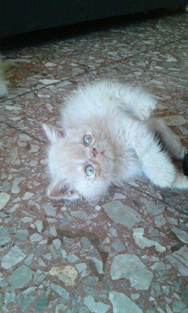 Gato persa exótico garfiel  Para venta macho arena Libre de pkd Floresta Whattapp 1537011866