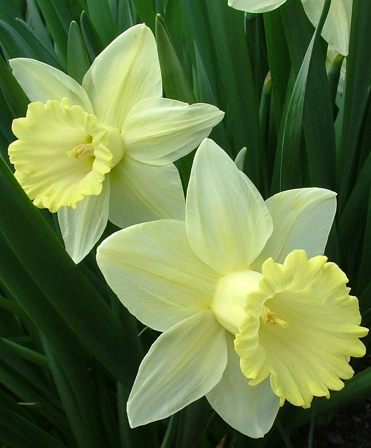 Narcissus-December birth flower in turqoise (December birthstone) 2 for both of my daughters.