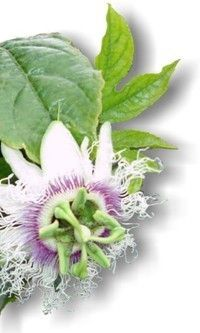 Tutku çiçeği faydaları