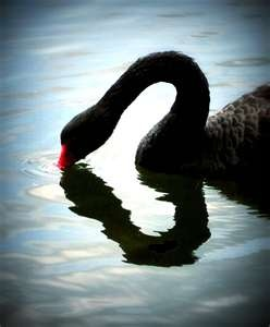 Without the reflection, a casual observer might see this black swan as half-hearted. (Sorry, I could not resist a silly pun.)