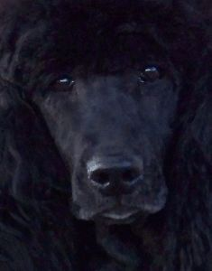 most perfect looking poodle I have ever seen,blocky, lovely eyes, wide nose. beautiful.