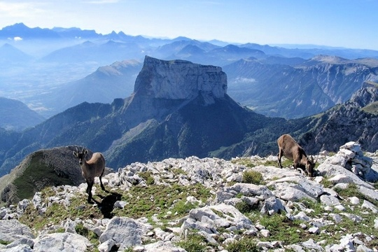 Ibex in the Vercors (Regional Natural Park in the French Alps)