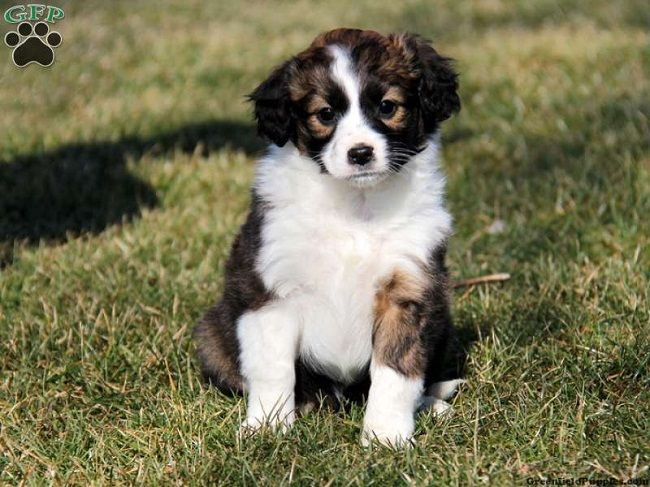 miniature border collie puppies for sale | Zoe Fans Blog
