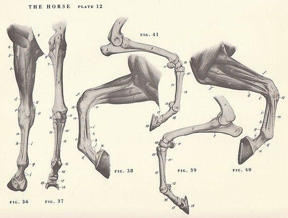 Cavallo d'epoca gamba Hoof congiunte anatomia illustrazione pagina libro