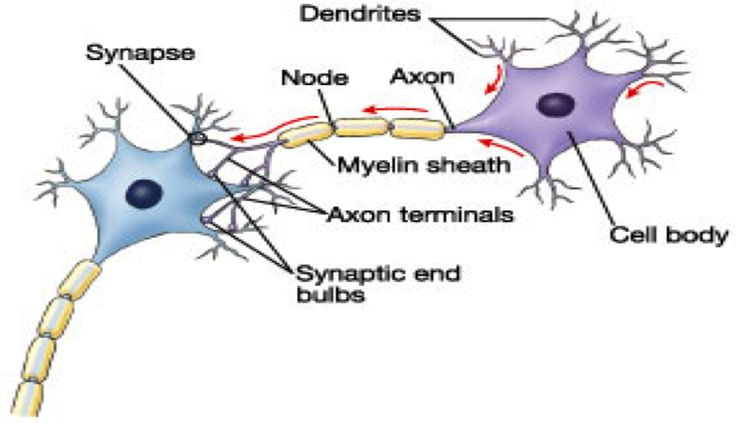 Neuron/structures of a neuron - Google Search | Study | Pinterest ...